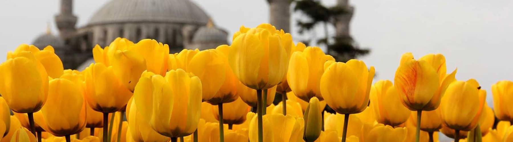 Istanbul Tulips in April