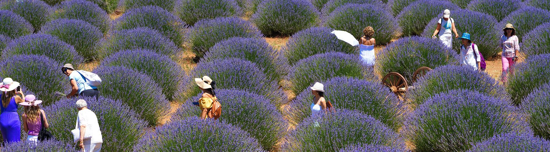 Lavender Kuyucak Turkey in July